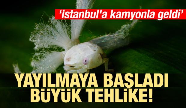 İstanbul'a kamyonla geldi! Vampir kelebek istilası!