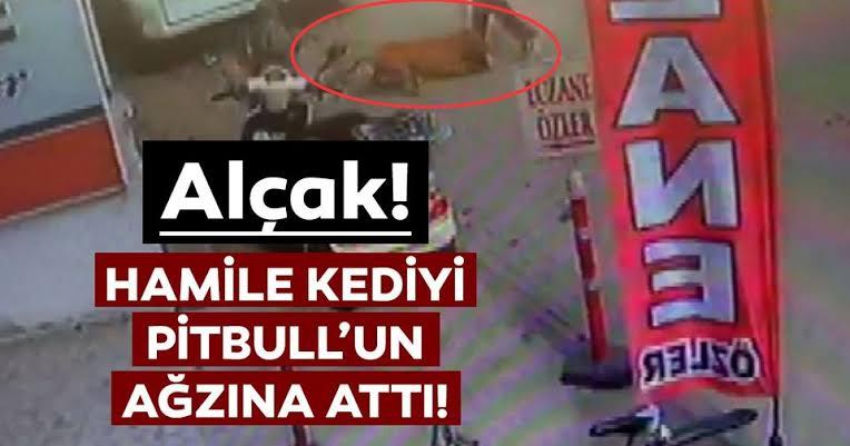 Adana'da hamile kediyi Pitbull cinsi köpeğin ağzına atan ruh hastası kamerada