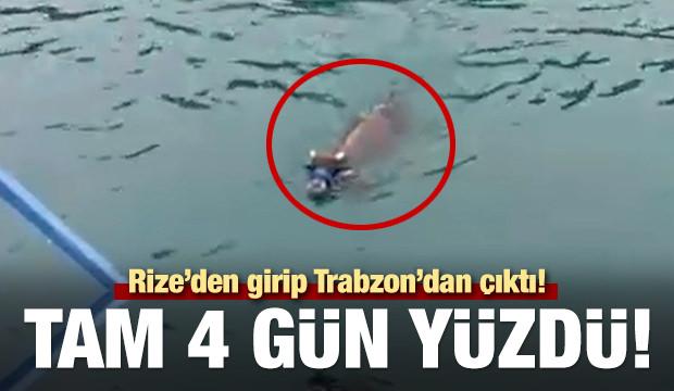 Kurbanlık dana bayramın son günü denizde yüzerken bulundu