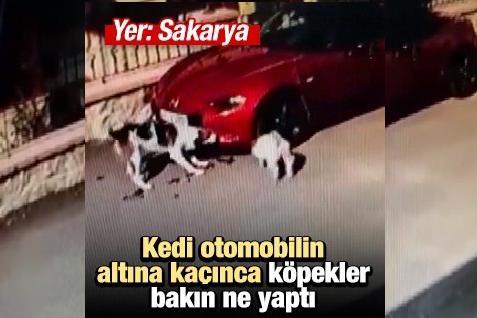 Kedi Otomobilin Altına Kaçınca, Köpekler Aracın Tamponunu Parçaladı